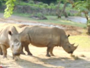 Animal Kingdom / Kilimanjaro Safari