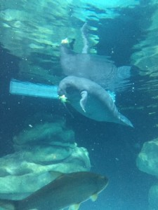 Epcot's-Manatee-Viewing-Area