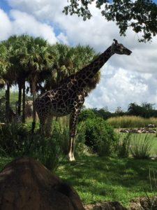 kilimanjaro-safaris-giraffe